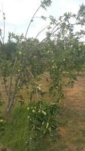 granny smith tree2